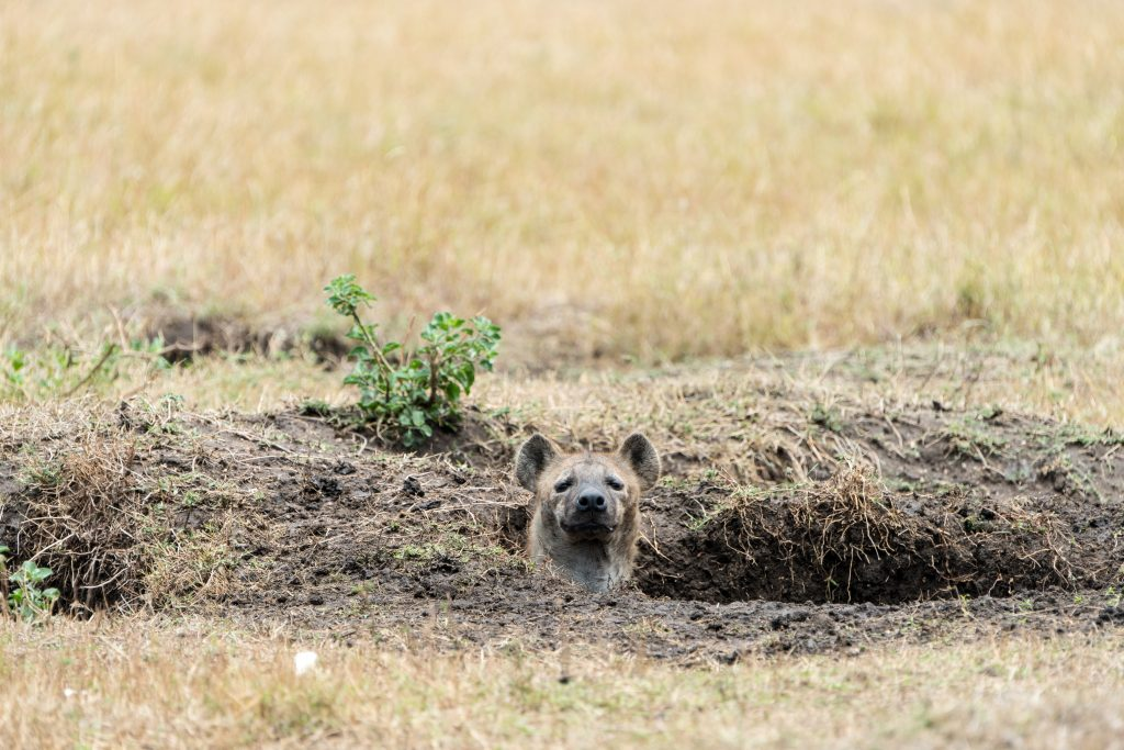 Hyena den mouth with hyena head popping out of the hole