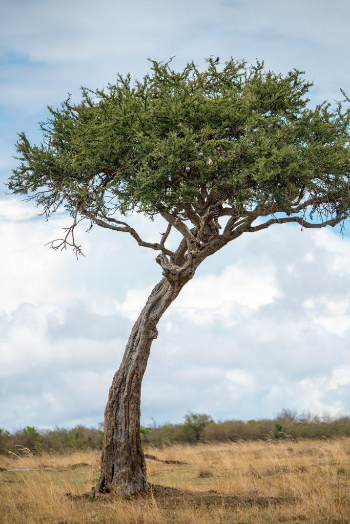 Well hidden leopard in an acacia tree