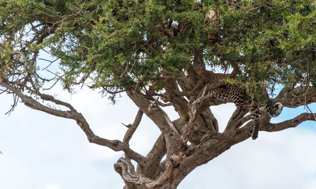 Leopard in a tree with kill hidden in the branches above it