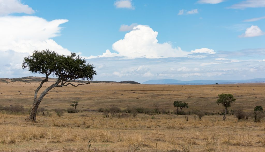 Scene across the Mara plane with an acacia tree to the left.