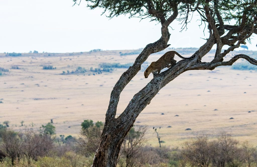 Leopard starting to descend the tree