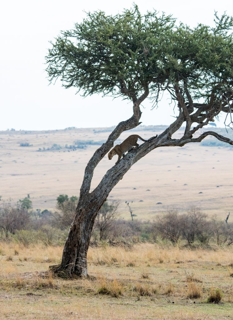 Leopard balanced as it comes down head first