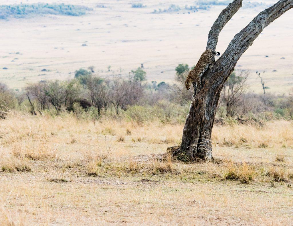 Leopard lies down the main trunk