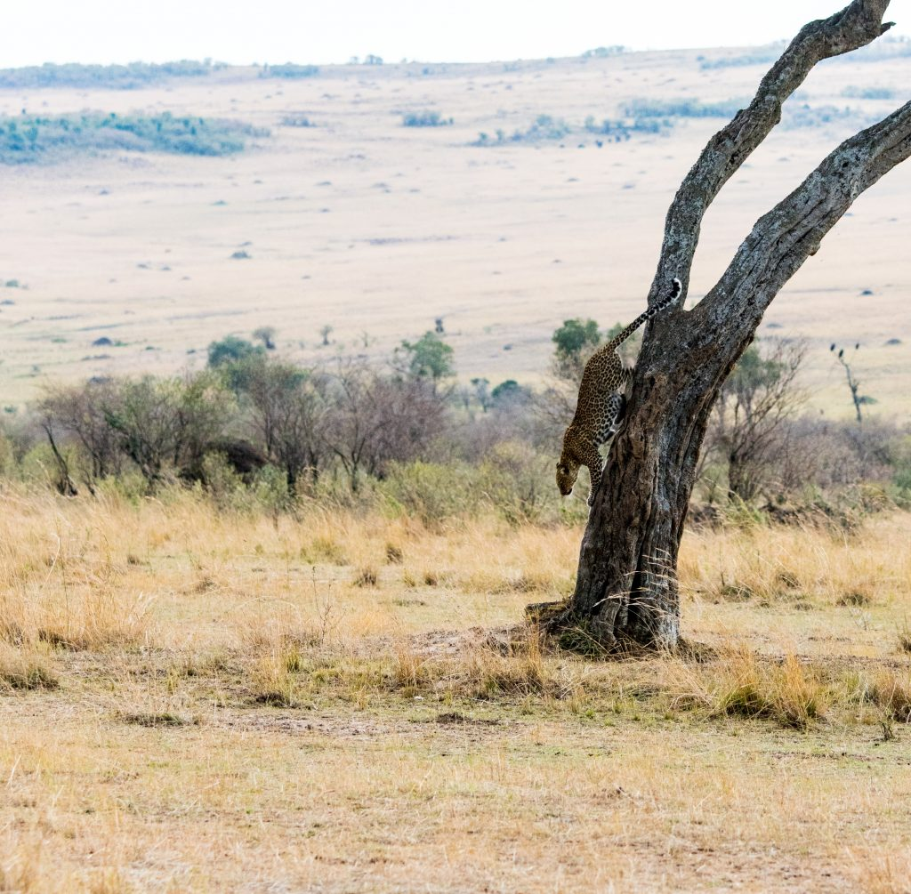 Leopard gets positioned for the final spring