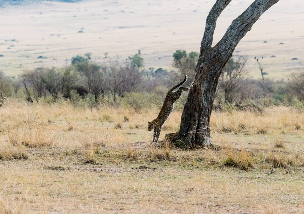 Leopard springs athletically from the tree at full stretch