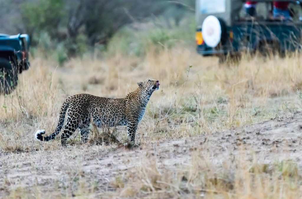 Leopard caged in by vehicles sees the tree she has just left as her only option