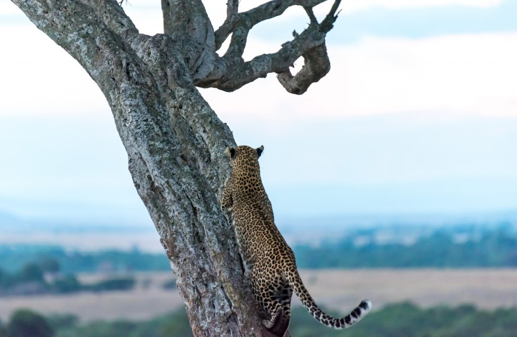 Leopard moves height in the tree