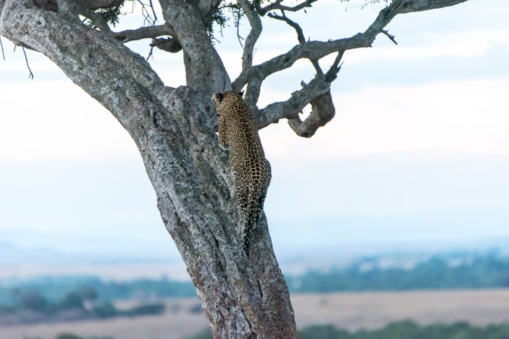 Perfect balance and strong claws holds the leopard vertical