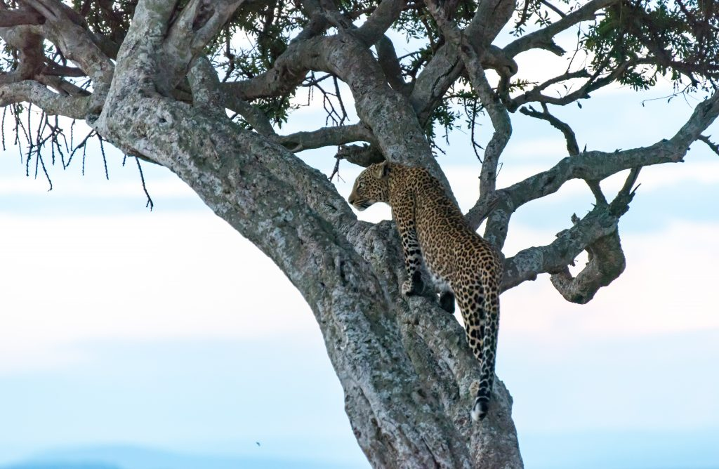 The leopard looks back at the vehicles in t
