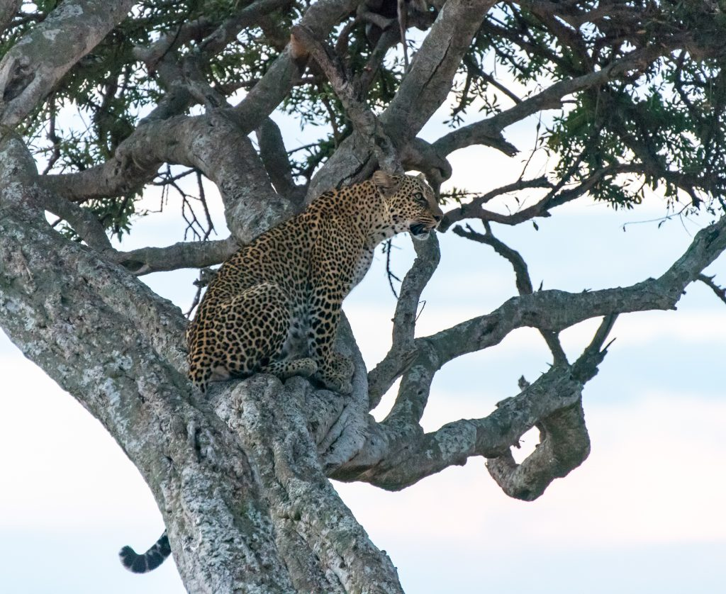 The leopard turns her back on the vehicles and settles down to wait