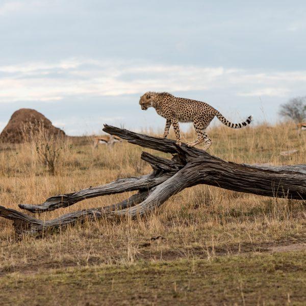 Cheetah balancing on a dead log