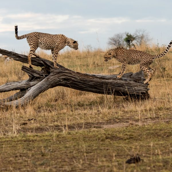 Two large cheetah cubs facing off on a dead log