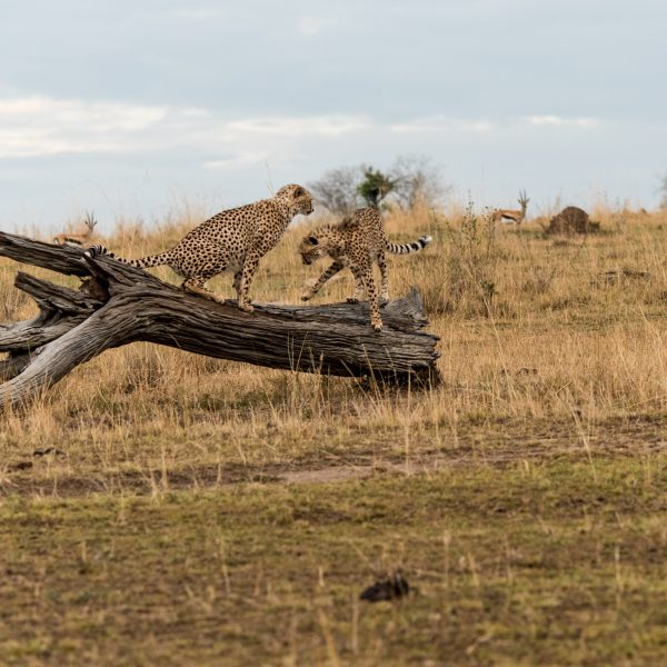 One cheetah scenting and the other trying to rebalance