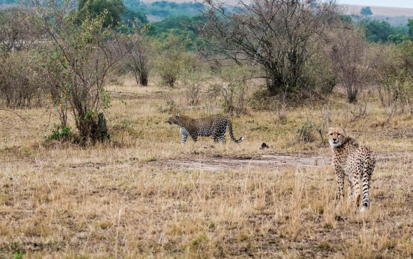 Leopard and cheetah
