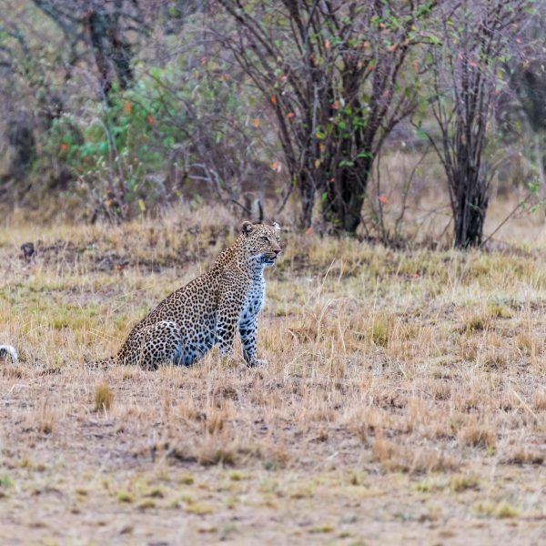 Leopard feeling confident sits down and continues to monitor the cheetahs