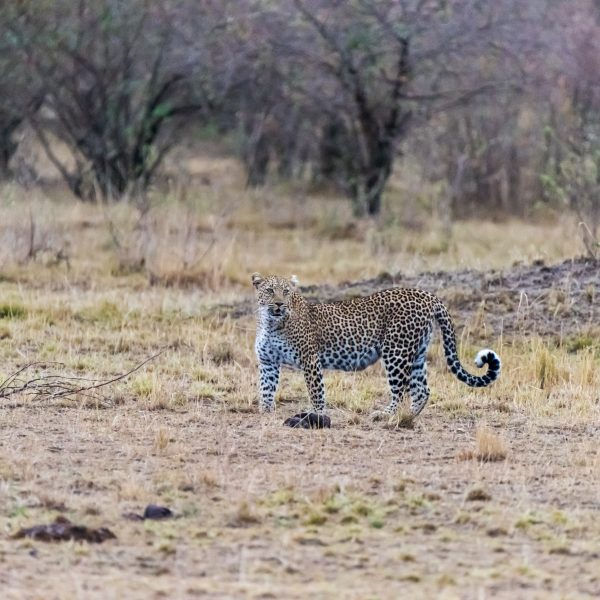 Leopard distracted by noise from the vehicles