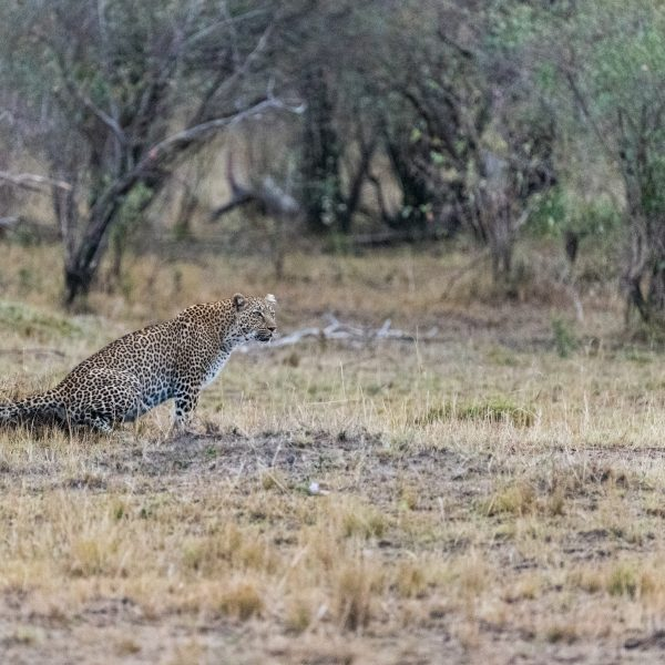 leopard scenting the ground near the tree line