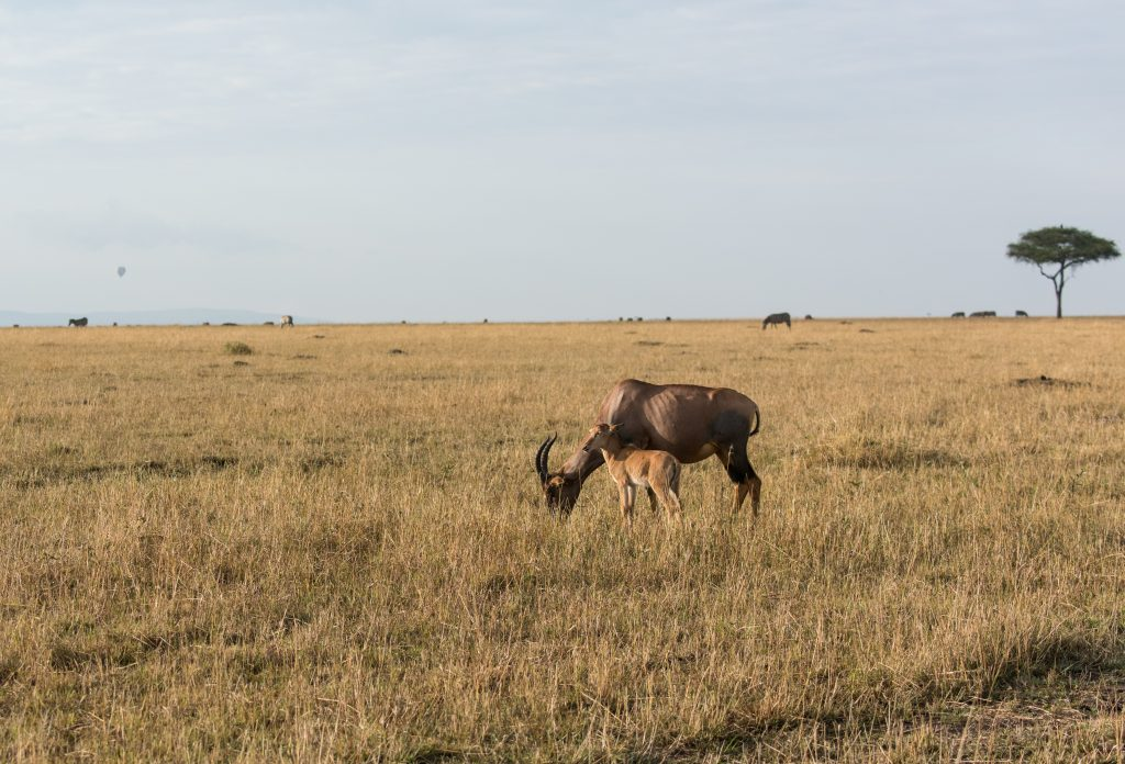topi calf with mother