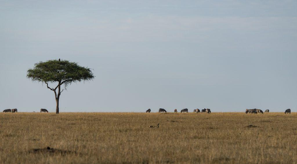 zebra on the sky line