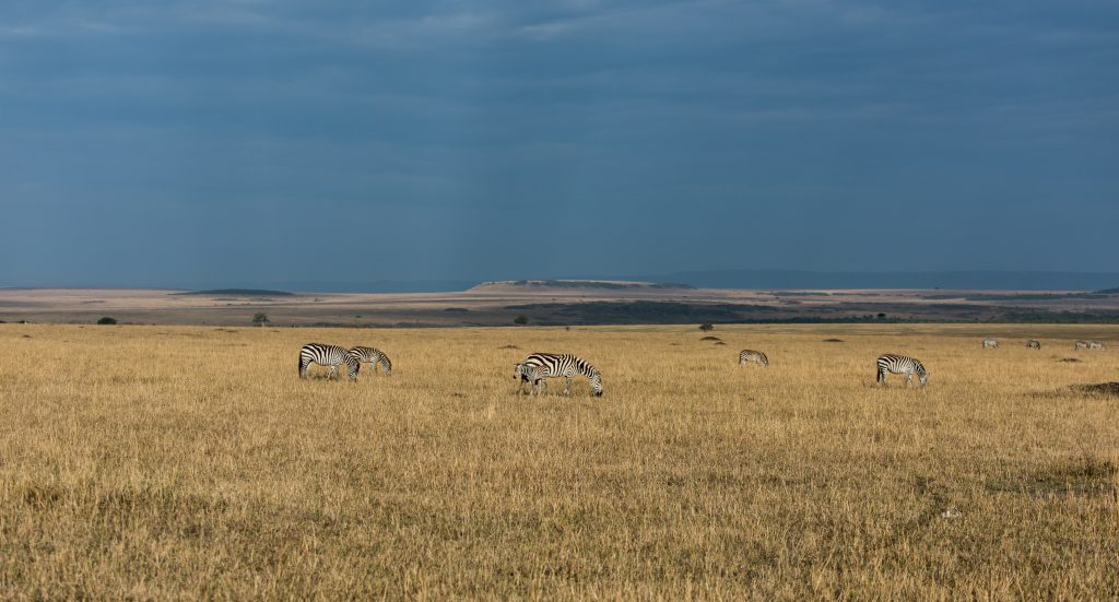 Zebra feeding on the plain with the yellow grass lit by the sun and the sky dark with impending rain