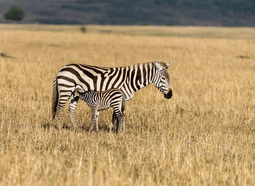 burchell zebra calf suckling