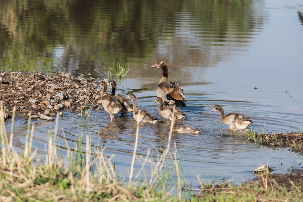 Egyptian goose moving her goslings