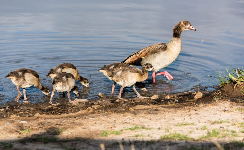 Egyptian goose high stepping with goslings feeding as they follow