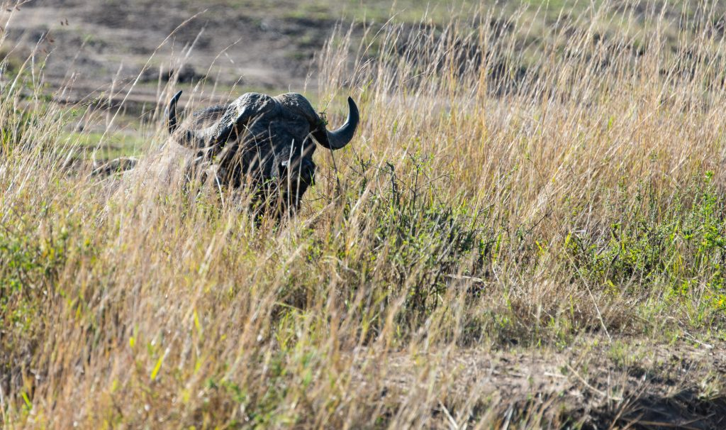 Buffalo almost completely hidden in tall grass