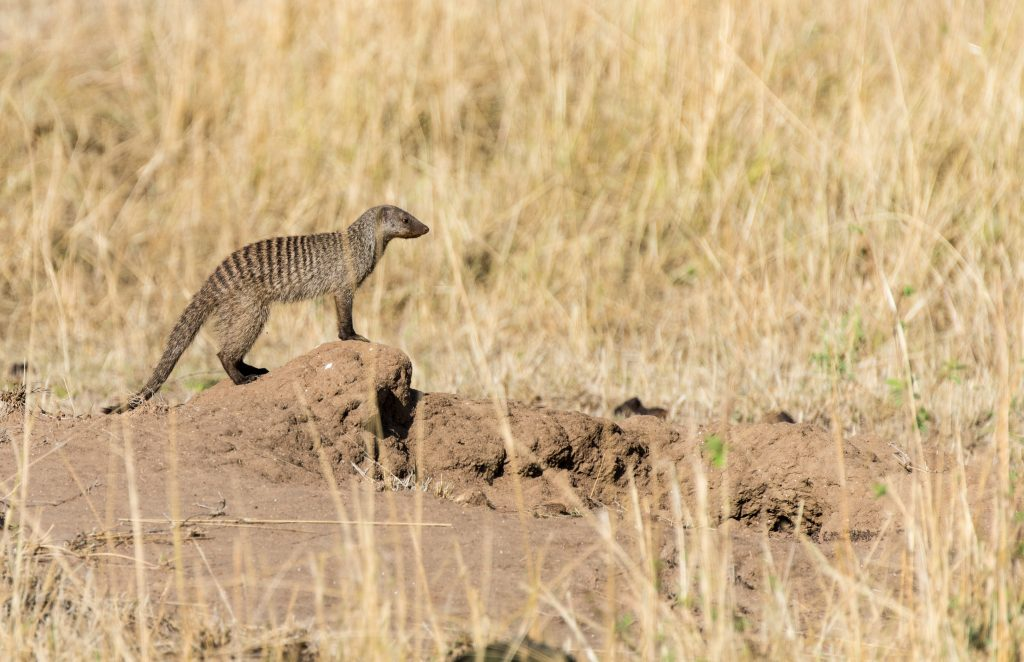 Banded mongoose stood on a mound of mud