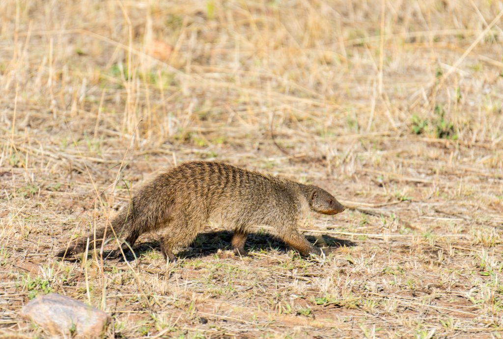Banded mongoose moving low across the ground