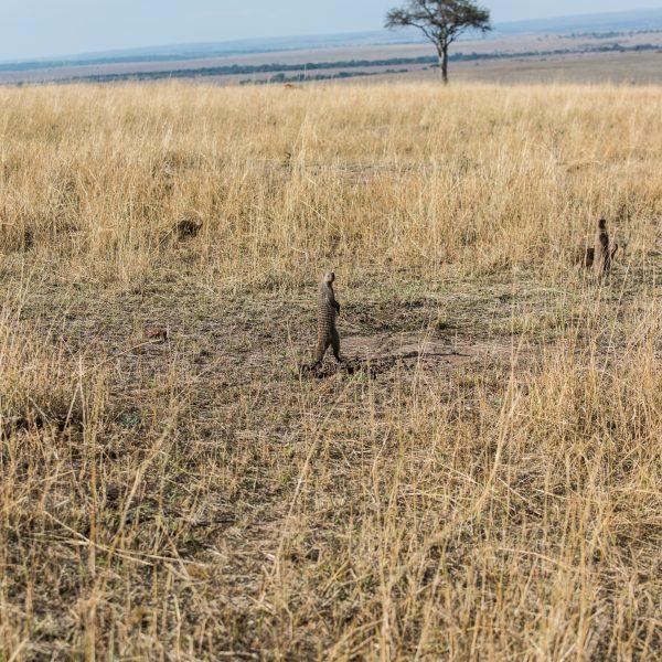 Banded mongoose stood on its hind legs like a meerkat