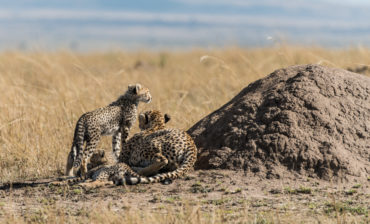 More cheetah and leopard – but never too many!