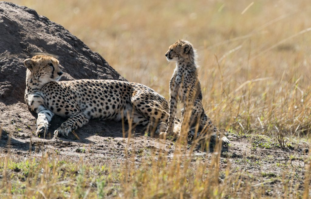 Mother cheetah looking back at a very young cub