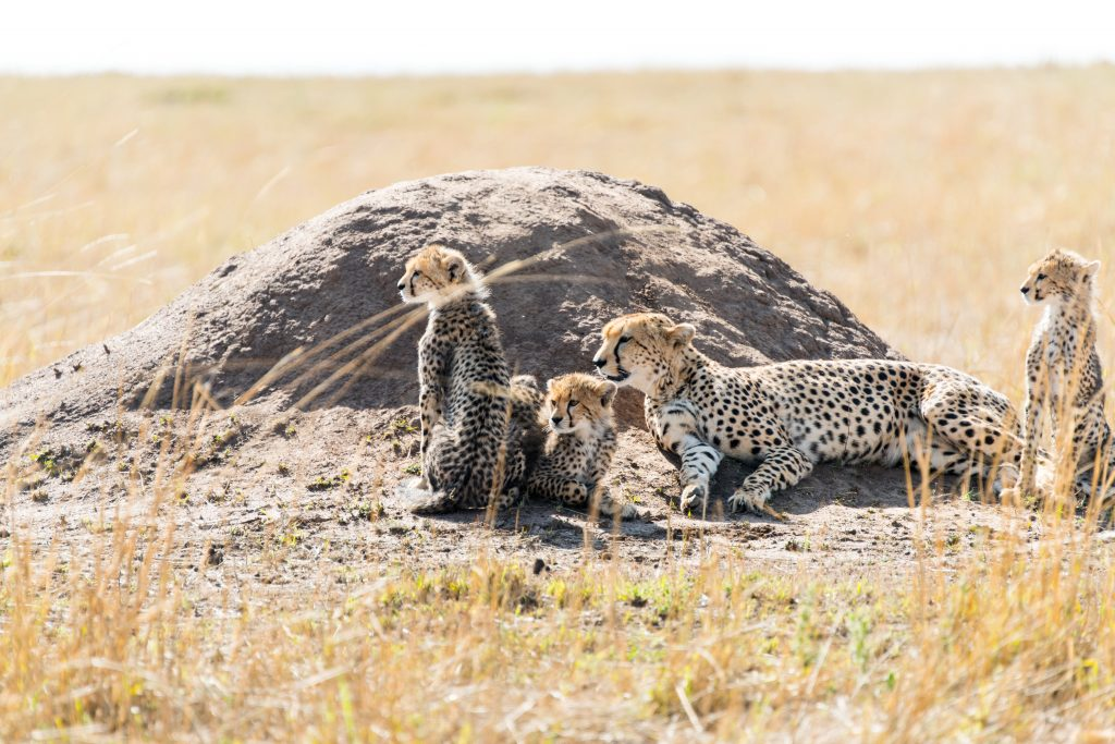 The whole cheetah family may be looking for their next meal