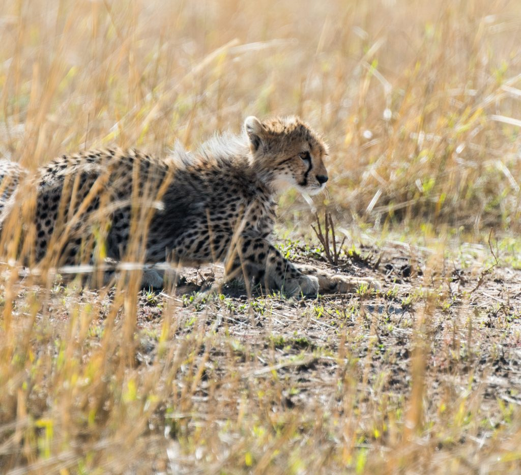 Cheetah cub low in the golden grass