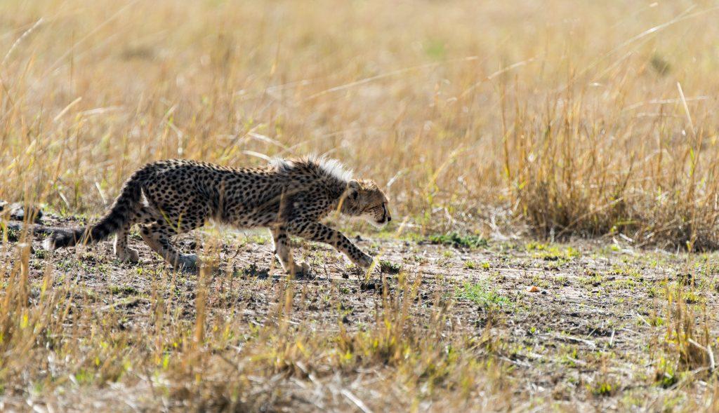 Cheetah cub in a stalking pose