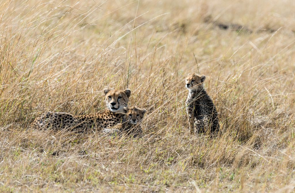 Mother cheetah with two of her cubs laying in the long grass