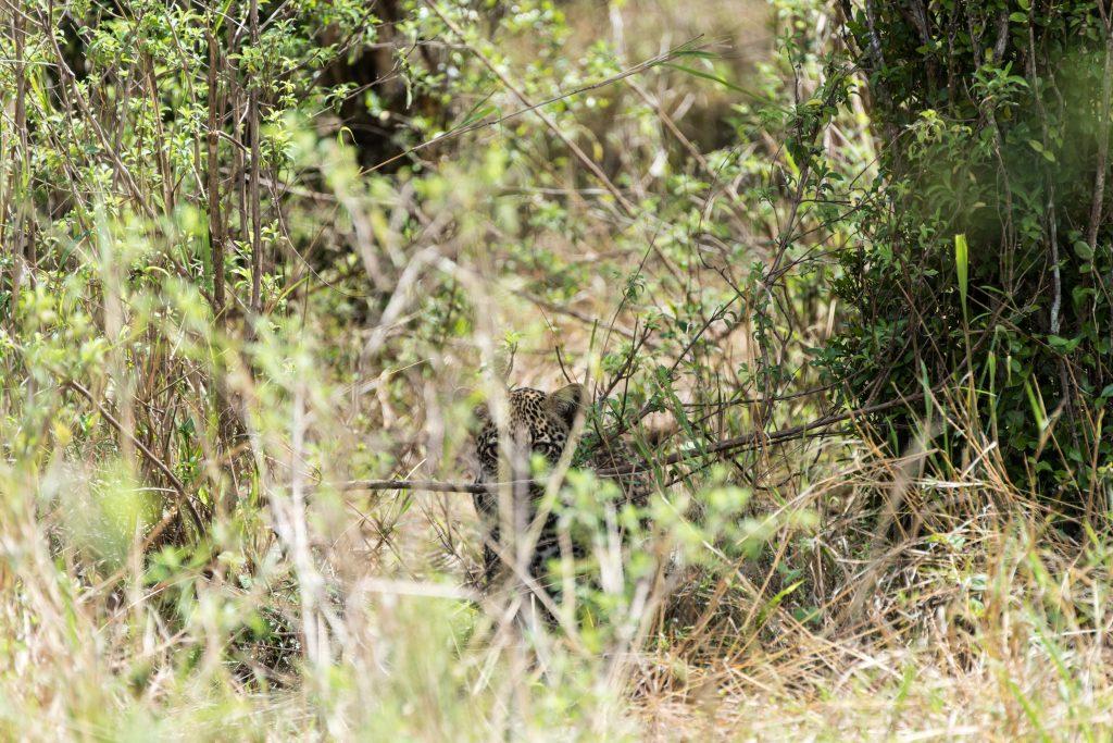 leopard cub in hiding