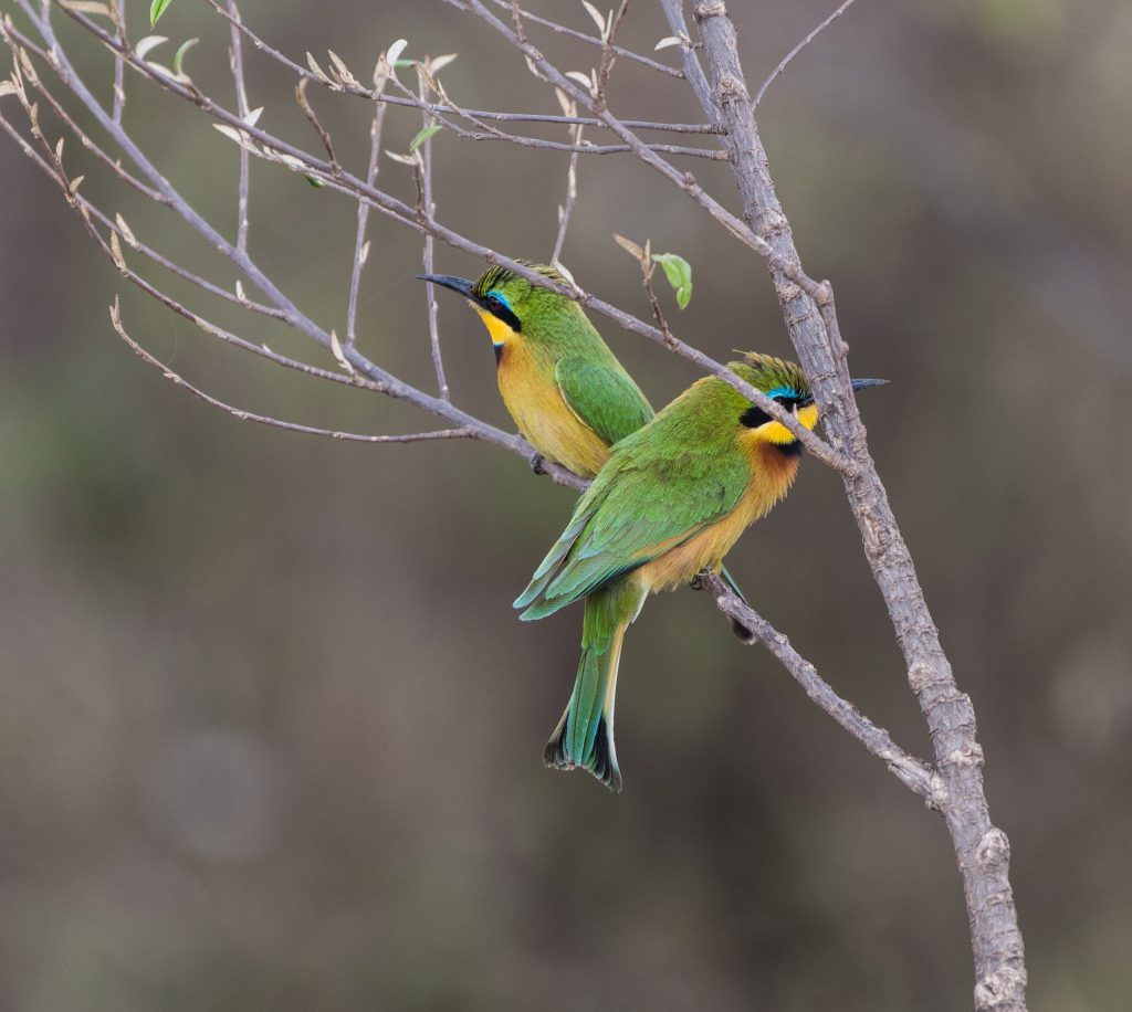 Two little bee-eaters facing in opposite directions on a branch