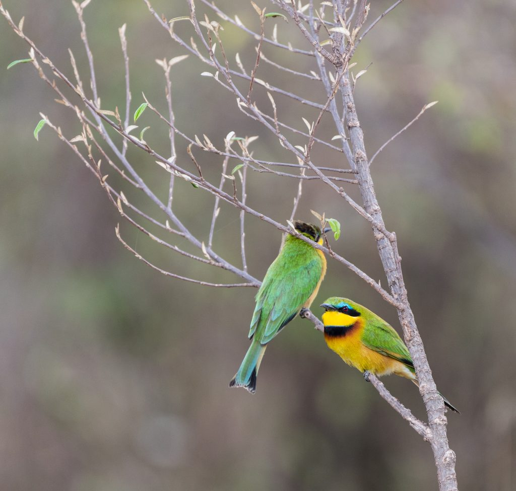 Two little bee-eaters one facing camera showing blue eye band
