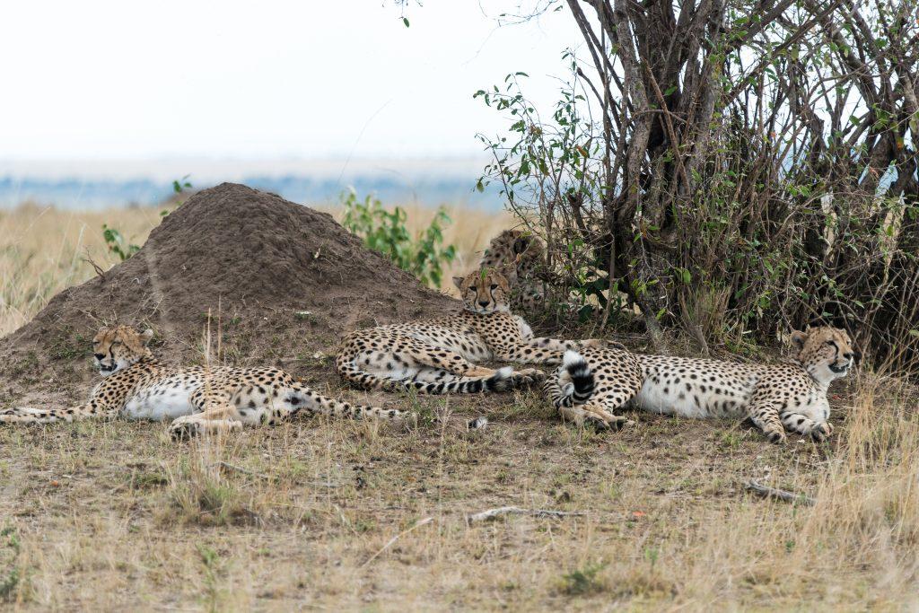 Three cheetahs resting under a tree