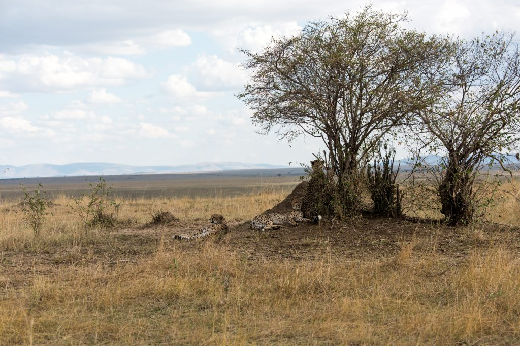 Cheetah resting under a tree on the edge of the plain