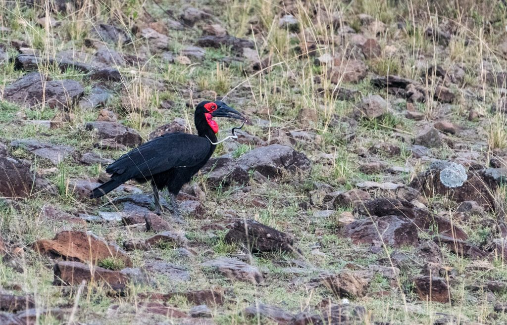 ground hornbill with a snake In its mouth