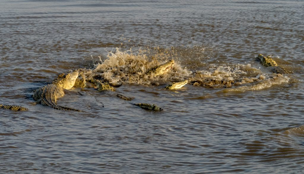 The crocodiles took hold and turned over thrashing as they did and creating turmoil in the shallow water