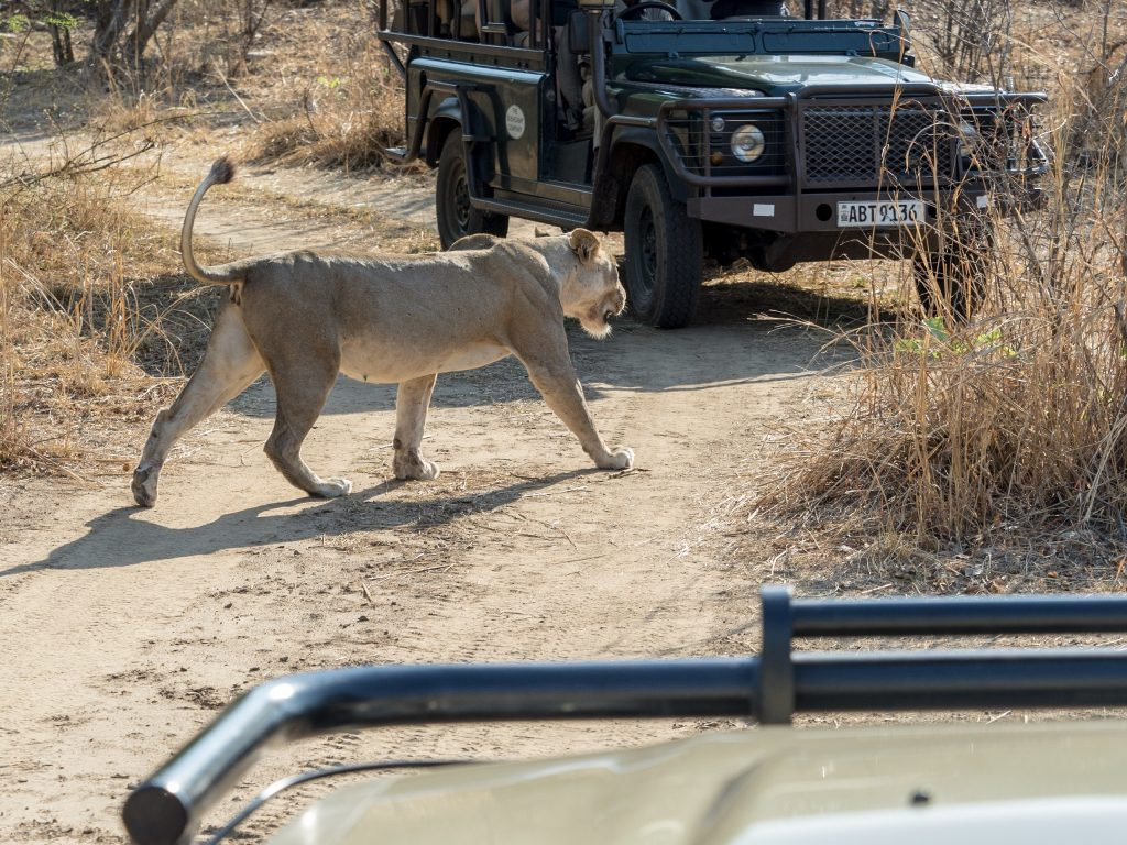 The lioness crosses between the stationary vehicles