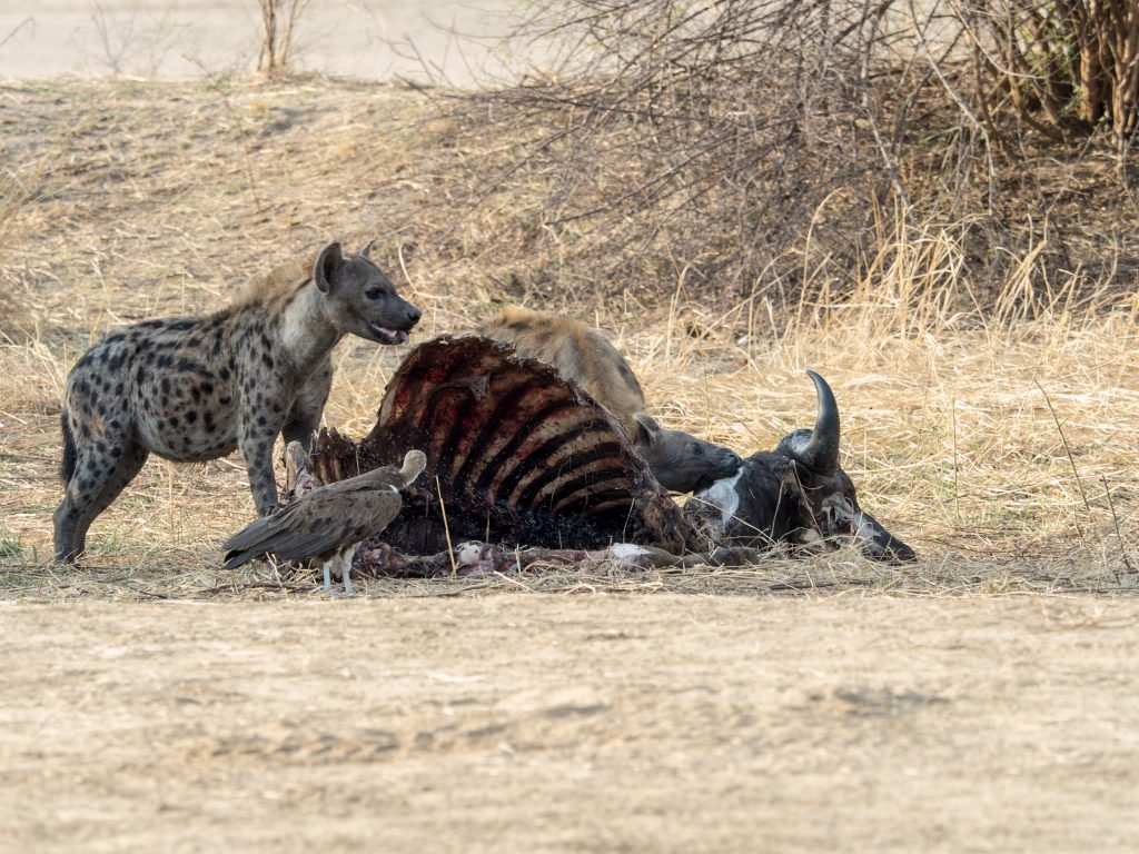 Hyenas and vulture at the remains of a kill
