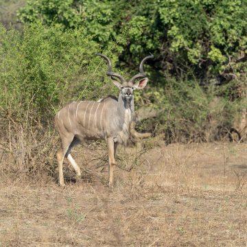 Magnificent Kudu