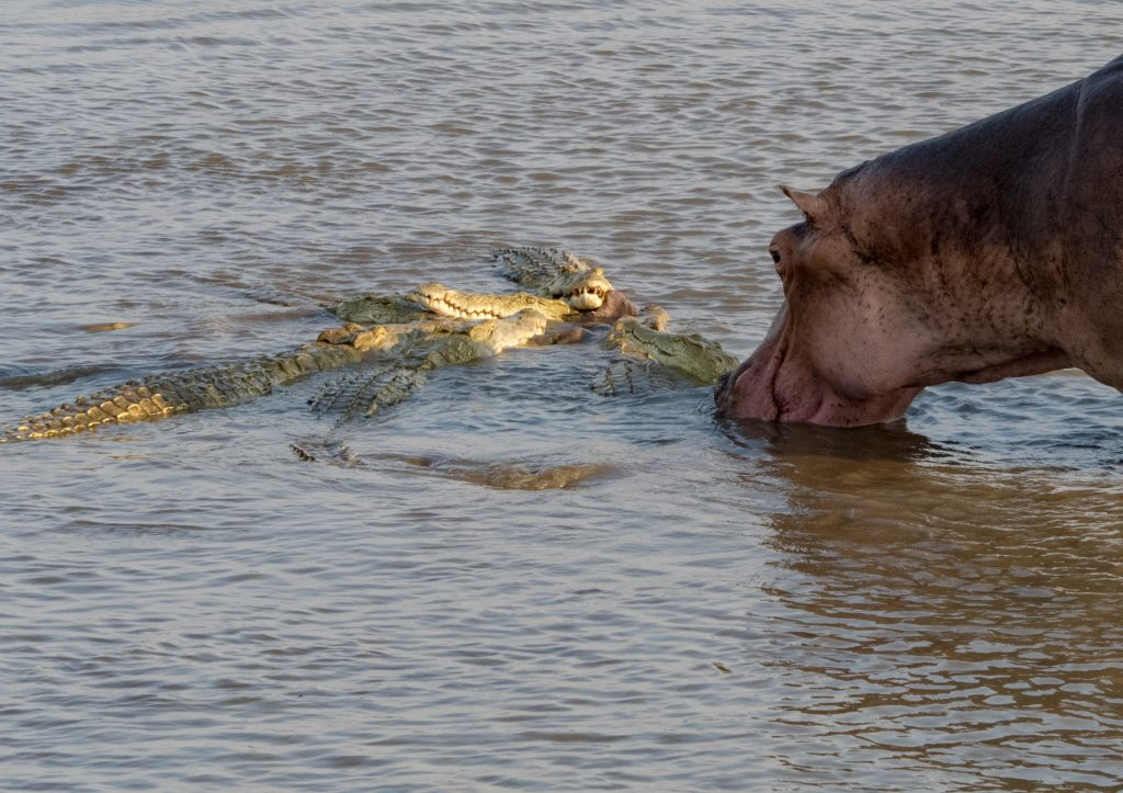 the hippos were astonishingly close to the feeding crocs