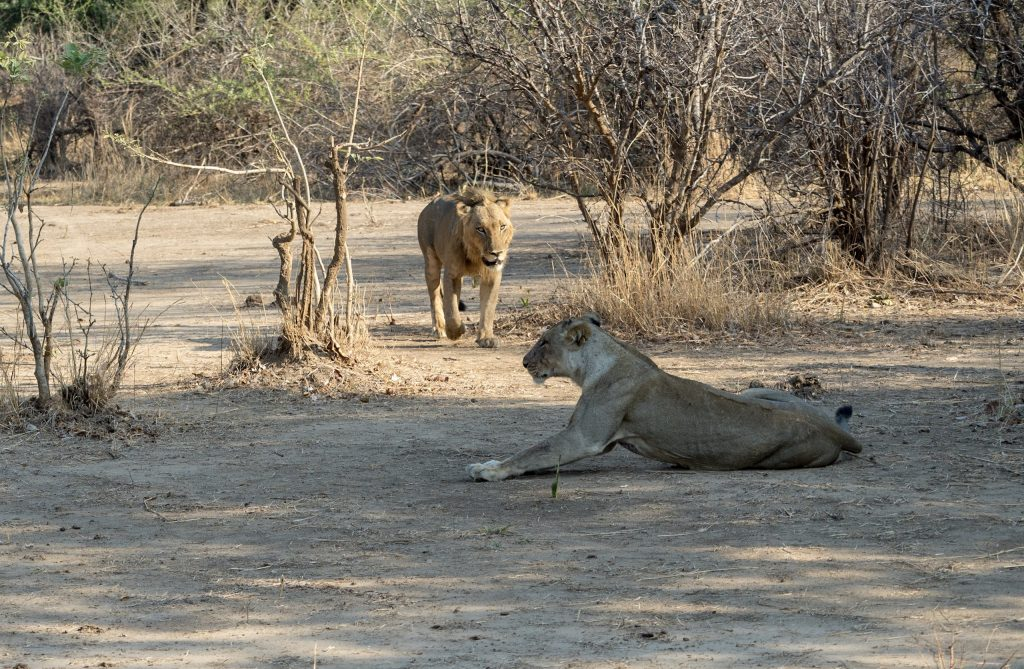 The lioness shows signs of being ready and the lion makes its way over to her.