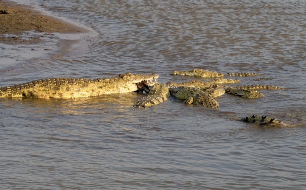 the larger croc seems to be holding it for the smaller ones to grasp